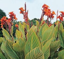 Багаторічні квіти канни вирощування