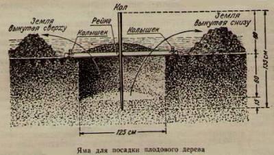 риємо ями під посадку дерев