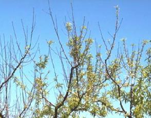 Дрібні листя на яблуні скручуються, засихають