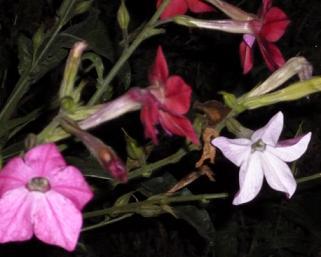 Квітка тютюн запашний, вирощування з насіння, догляд