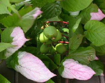 Актинідія (коломікта) вирощування