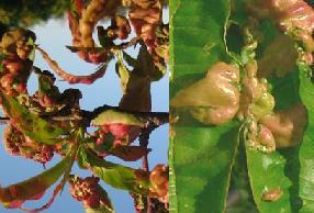 листя персика червоніють або жовтіють