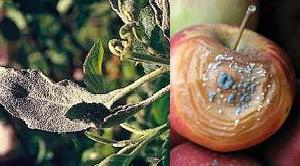 Опіком яблуні груші плодовою гнилю