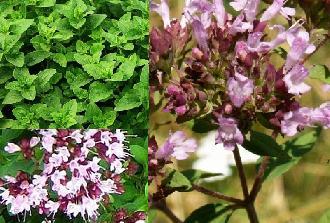 Материнка звичайна, корисні властивості трави і чаю