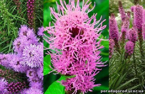 Ліатрис - посадка, догляд, вирощування з насіння