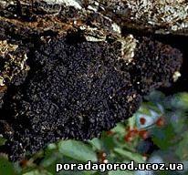 Настій гриба модринової губки
