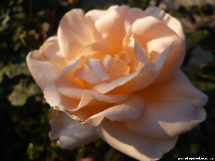 лікуємо горло трояндовим оцтом
