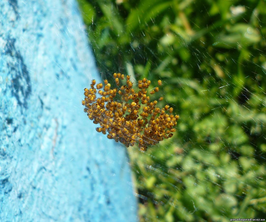 фото павучків агріопи