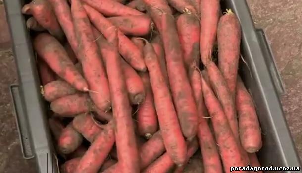 зберігання моркви в тирсі
