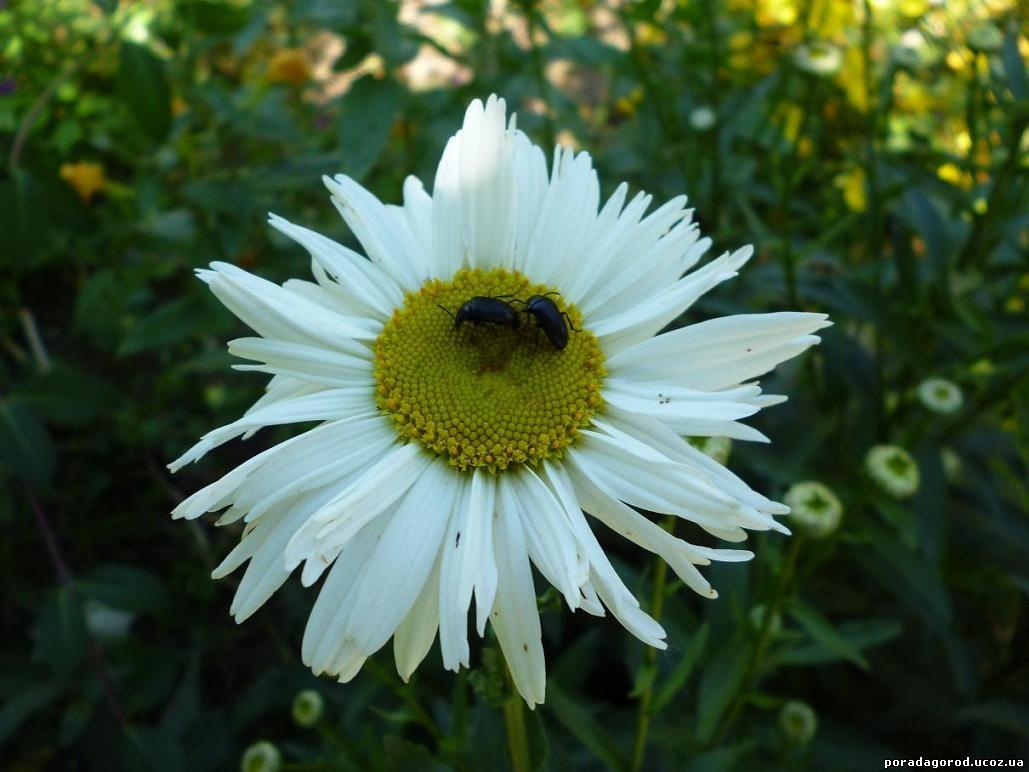 ромашка садова багаторічна квітка