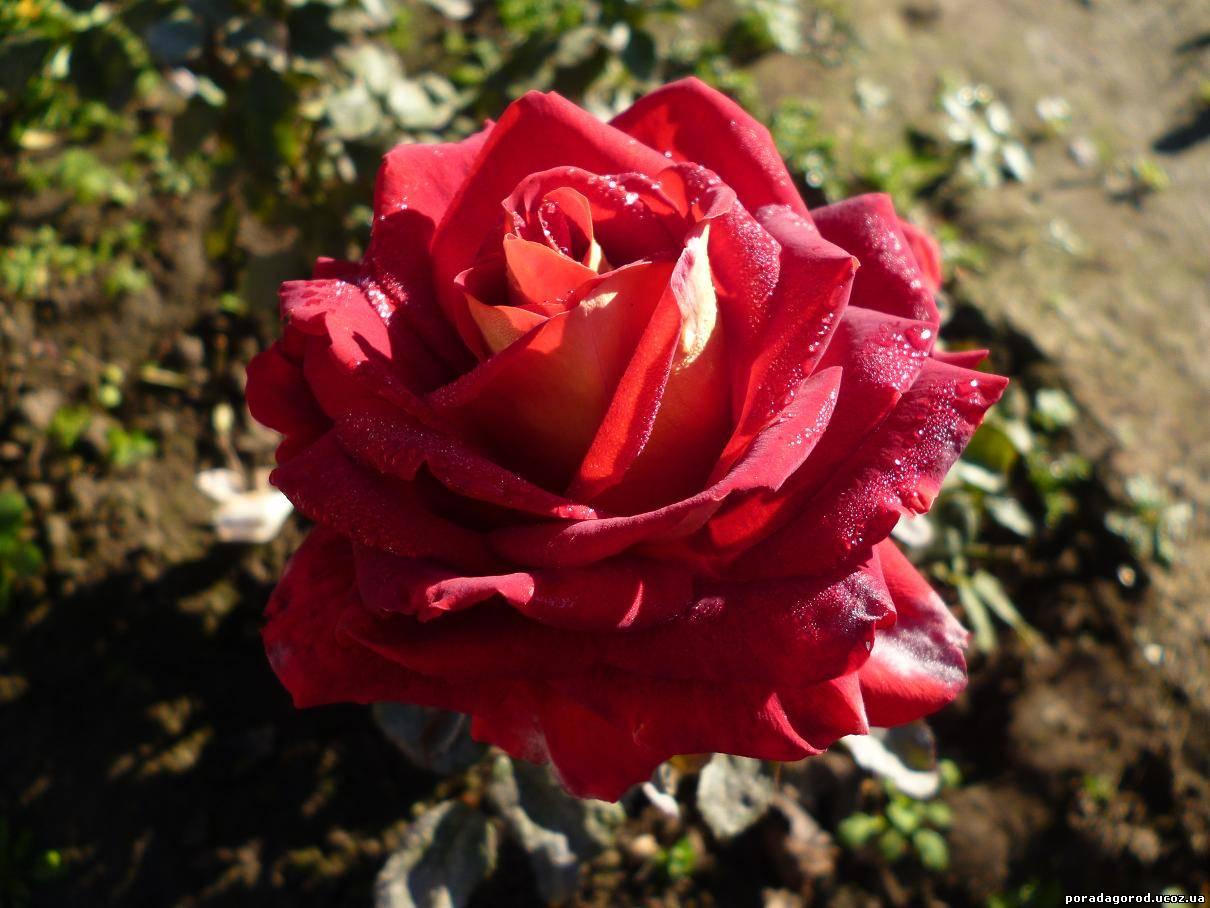 рецепт меду з пелюсток троянди