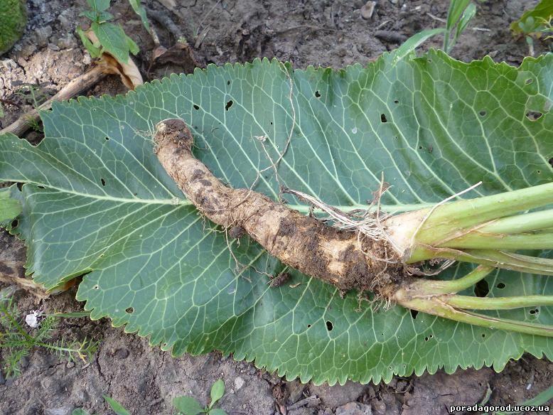 як позбутися хрону на городі