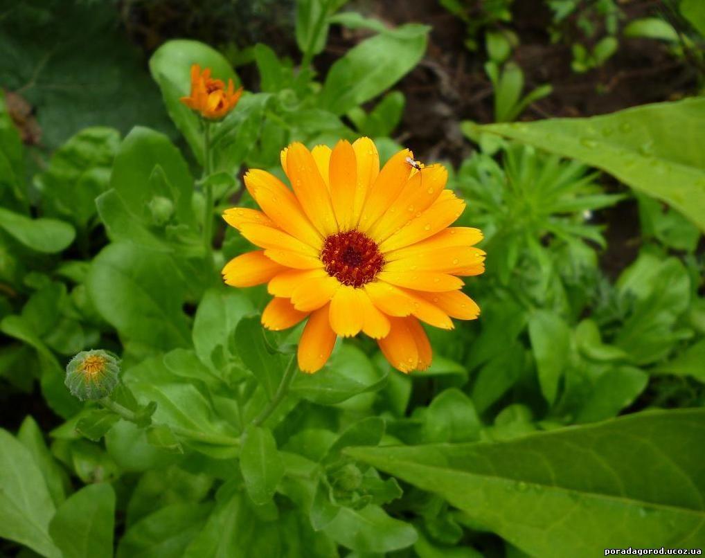 мазь з квіток календулі