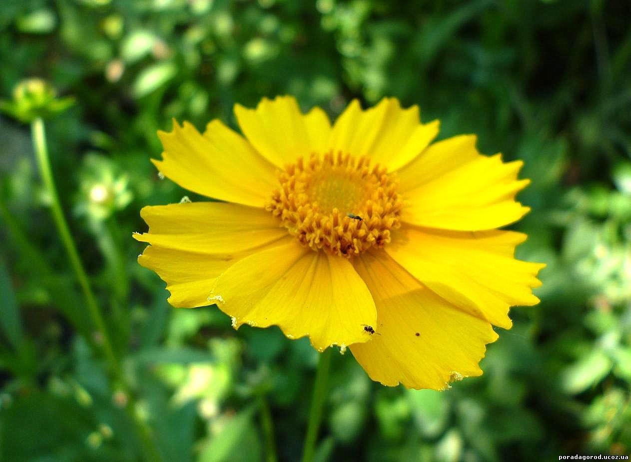 кореопсис квітка багаторічна