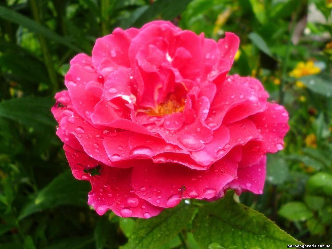 осінь троянди